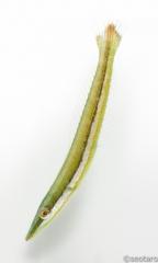 カマスベラ